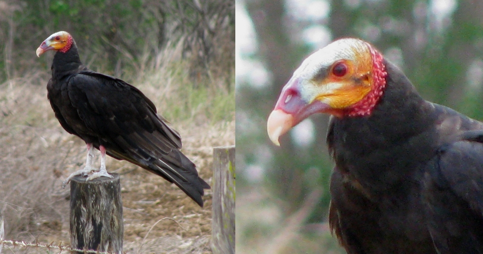 A Yellow-headed Vulture [Oripopo cabeza amarilla menor] (Cathartes burrovianus burrovianus)