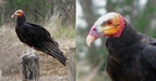 #8: A Yellow-headed Vulture [Oripopo cabeza amarilla menor] (Cathartes burrovi