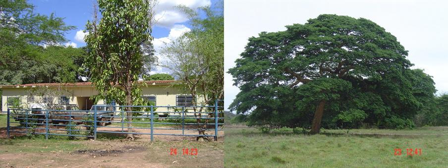 MATACLARA MAIN HOUSE AND A BEAUTIFUL COPAIBA TREE