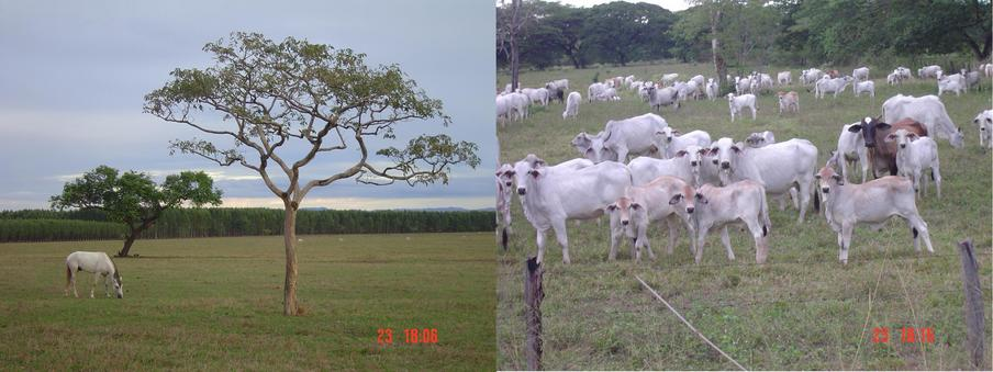 A NICE SAVANNAH VIEW WITH THE EUCALIPTUS TREE AT THE BACK, AND A GROUP OF CATTLE WAITING FOR THE PICTURE
