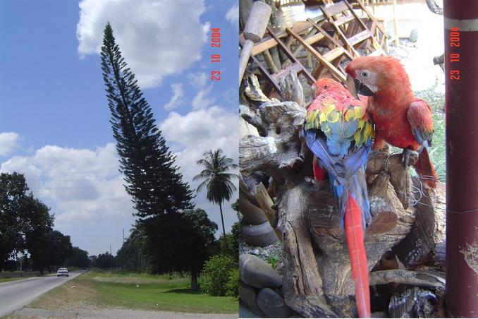PINE TREE WITH PISA STYLE AND A COUPLE OF SCARLET MACAW