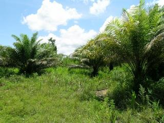 #1: oil palms everywhere – view to CP