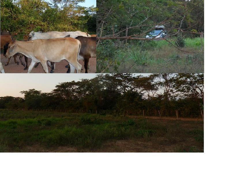 Ganado en la via, vehiculo en area de danza / Bovine in the way / SUV dancing inside CP 1071 area