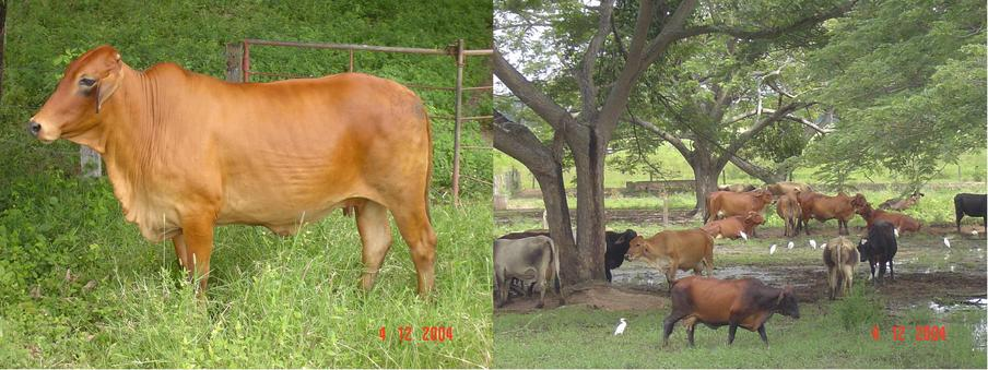 Cattle farming activity