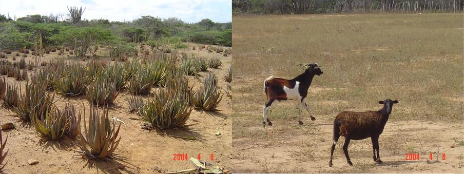 ALOE VERA PLANTATION AND GOATS BREEDING