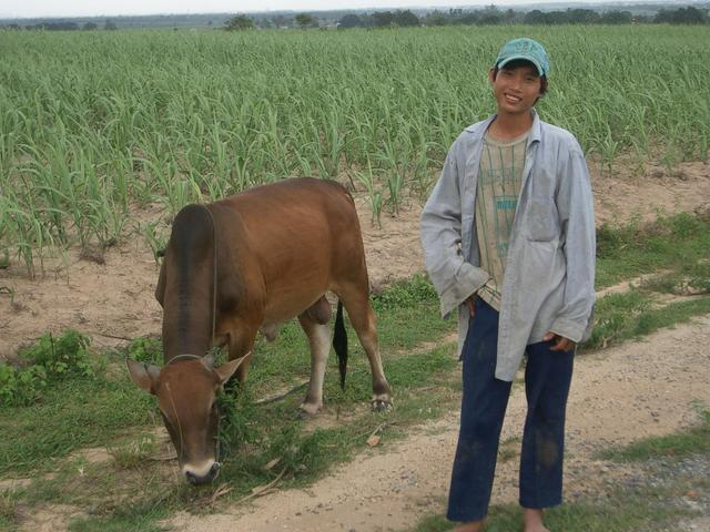 A boy with his ox tending the field.