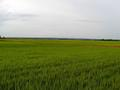#6: Rice fields