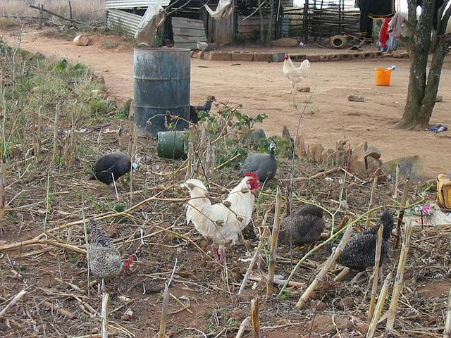 Hens and a cock at Confluence