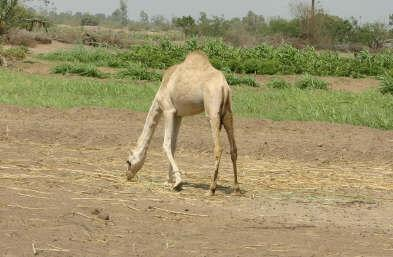 Nearby camel