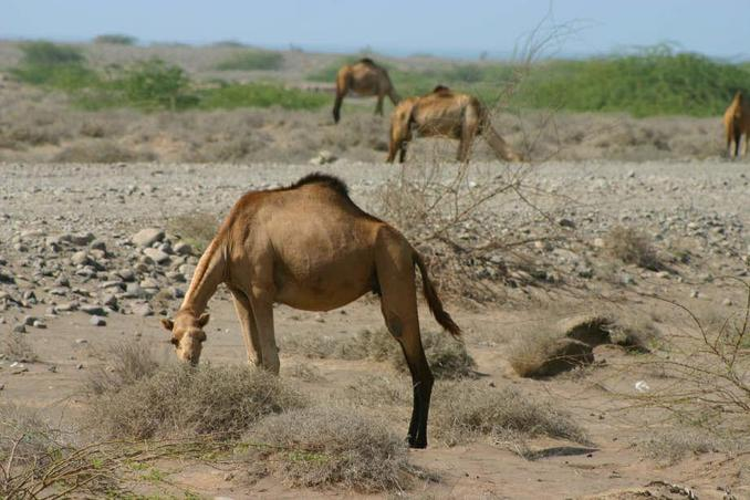 Camels by the road to al-Hudayda