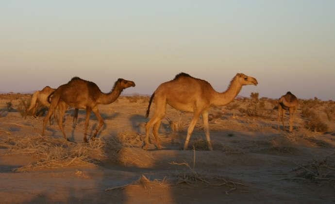 Camels nearby