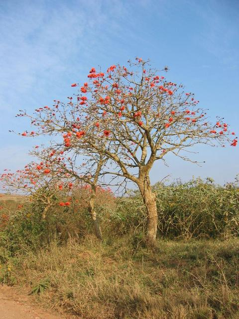 Tree with red flowers close to Confluence.
