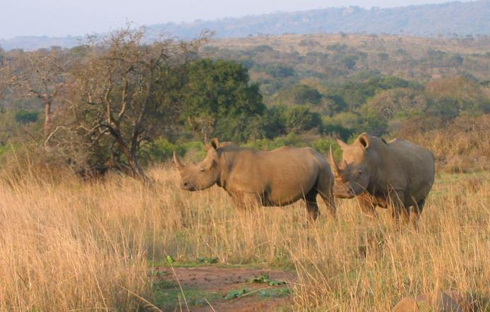 Rhino in the Game Reserve