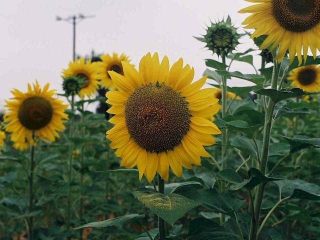 Sunflowers, another common crop in this region