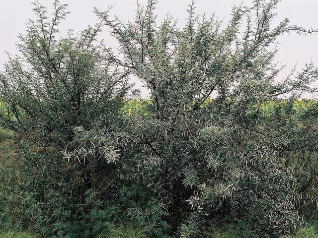 Thorn bush, showing the real natural vegetation of the region