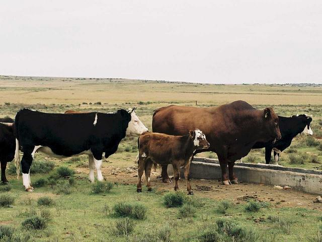 Some typical cattle - Afrikander bull with cows and calves