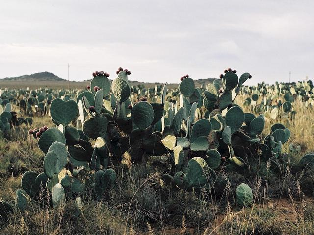 Prickly Pear, or Cactus